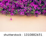 pink wall covered with magenta... | Shutterstock . vector #1310882651