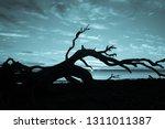 dead tree against the sky | Shutterstock . vector #1311011387