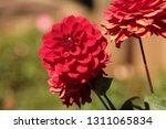 close up of a purple ball... | Shutterstock . vector #1311065834