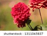 close up of a purple ball... | Shutterstock . vector #1311065837