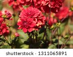 close up of a purple ball... | Shutterstock . vector #1311065891