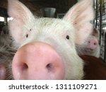 pig snout portrait   Shutterstock . vector #1311109271
