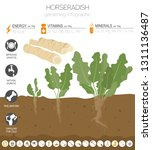 horseradish beneficial features ... | Shutterstock .eps vector #1311136487