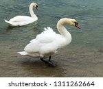 in winter  white swans and... | Shutterstock . vector #1311262664