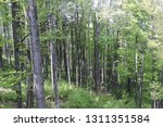 a view of tall deciduous tree... | Shutterstock . vector #1311351584