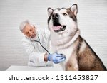 happy malamute on examination... | Shutterstock . vector #1311453827