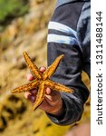 Spiny Star Fish Or Starfish...