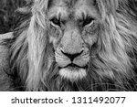 Male Lion Portrait  Magnificen...