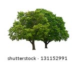 Stock photo two green trees isolated on white 131152991