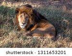 an aging serengeti lion rests...   Shutterstock . vector #1311653201