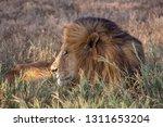 an aging serengeti lion rests...   Shutterstock . vector #1311653204