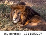 an aging serengeti lion rests...   Shutterstock . vector #1311653207