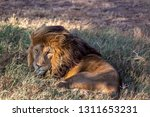 an aging serengeti lion rests...   Shutterstock . vector #1311653231