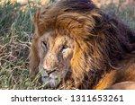 an aging serengeti lion rests... | Shutterstock . vector #1311653261