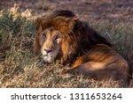 an aging serengeti lion rests... | Shutterstock . vector #1311653264