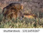an aging serengeti lion rests... | Shutterstock . vector #1311653267