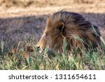 a majestic lion contemplates... | Shutterstock . vector #1311654611