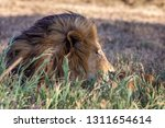 a majestic lion contemplates... | Shutterstock . vector #1311654614