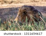 a majestic lion contemplates...   Shutterstock . vector #1311654617