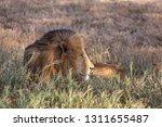 an aging serengeti lion rests... | Shutterstock . vector #1311655487