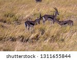 young antelopes practice...   Shutterstock . vector #1311655844