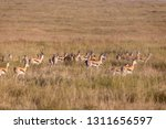 an antelope herd on a sea of...   Shutterstock . vector #1311656597