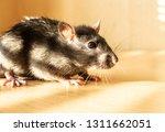 Rat Rodent Fur Pest