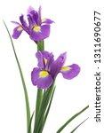 Irises Isolated On White...