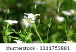 forest flowers in summer | Shutterstock . vector #1311753881