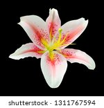 beautiful lily  lilium  flower... | Shutterstock . vector #1311767594