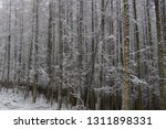 deciduous larch trees  larix... | Shutterstock . vector #1311898331