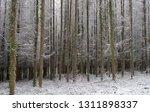 deciduous larch trees  larix... | Shutterstock . vector #1311898337