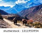 Yak On The Way On Annapurna...