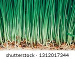 sprouts of green wheat grass on ...   Shutterstock . vector #1312017344