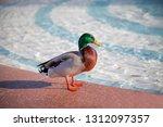Beautiful Mallard Duck Stands...