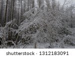 the branches of a hazel tree... | Shutterstock . vector #1312183091