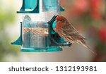male house finch at backyard... | Shutterstock . vector #1312193981