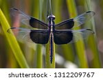 Male Widow Skimmer Dragonfly  ...