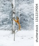 Small photo of Siberian tiger jump in snow in a winter taiga. Tiger in wild winter nature. Danger animal. Siberian tiger in the winter taiga. Snowflake with beautiful Siberian tiger in tajga, Russia.