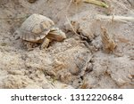 Stock photo africa spurred tortoise are born naturally tortoise hatching from egg cute portrait of baby 1312220684