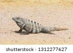 ctenosaur in tulum  riviera... | Shutterstock . vector #1312277627