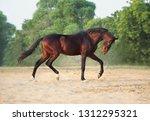bay marwari stallion running...   Shutterstock . vector #1312295321