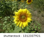 landscape with sunflower close... | Shutterstock . vector #1312337921