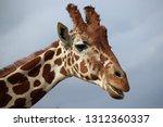 giraffe  giraffa camelopardalis ... | Shutterstock . vector #1312360337