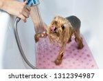 yorkshire terrier in the... | Shutterstock . vector #1312394987