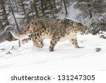 Rare And Elusive Snow Leopard...