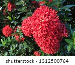 red spike flowers bloom in the...   Shutterstock . vector #1312500764