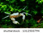thai micro crab or micro spider ... | Shutterstock . vector #1312503794