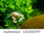 thai micro crab or micro spider ... | Shutterstock . vector #1312503797
