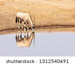 a solitary adult male oryx ... | Shutterstock . vector #1312540691
